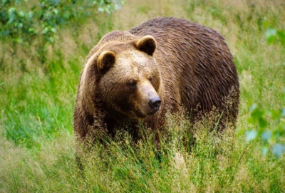 Медведь украл быка со двора буковинки