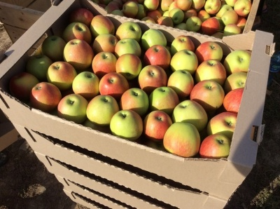 У Чернівцях яблука коштуватимуть не менше 10 гривень