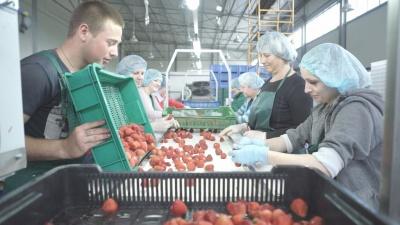 Від безробіття до успішного агробізнесу: як селяни Вінничини заробляють на ягодах і відроджують село