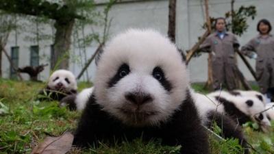 Милість зашкалює: на відео вперше показали 36 новонароджених панд