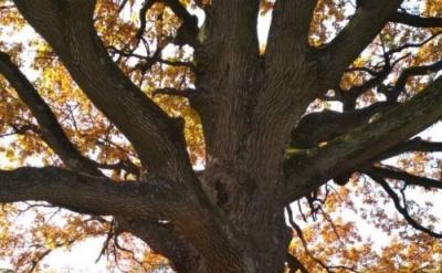 540-летний дуб из Буковины вошел в реестр древних деревьев Украины