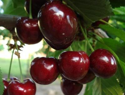 Підприємство на Буковині закладає розсадник сливи, черешні та персика