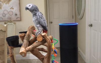 Папуга навчився давати команди голосовому помічнику Amazon (ВІДЕО)