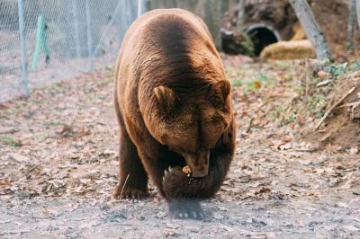 Ведмідь, якого врятували з ресторану у Кельменцях, живе у ведмежому притулку