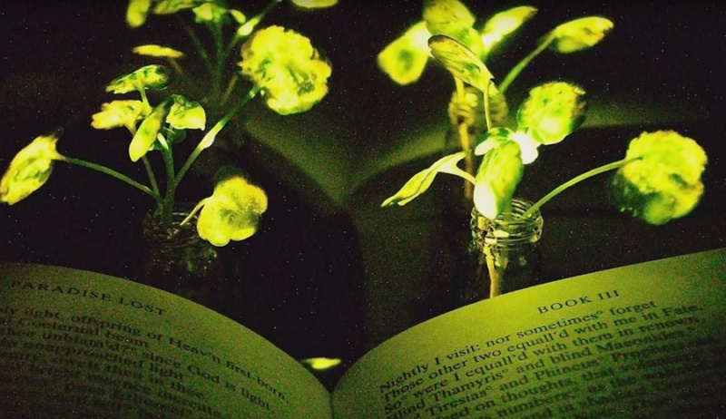 Вчені створили рослини, які зможуть замінити настільні лампи