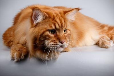 У Дніпрі знайшли найбільшого в Україні кота