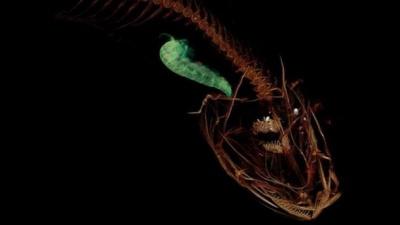 Вчені знайшли рибу, яка водиться на найбільших глибинах