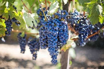 Грузинське вино потрапило до Книги рекордів Гіннесса