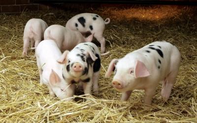 Залишимося без молока і м'яса - на Буковині стало менше корів і свиней