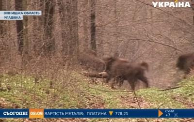 Чернівецькій області подарують 10 зубрів