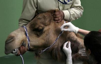 1000 доларів за операцію, – у Дубаї з'явився унікальний госпіталь виключно для верблюдів