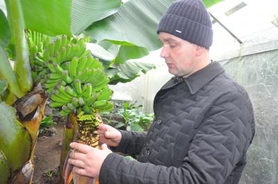 На Буковині в теплиці у фермера дозрівають банани і ананаси (ФОТО)