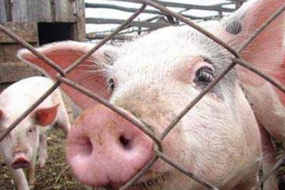 У фермерському господарстві на Буковині виявили африканську чуму свиней