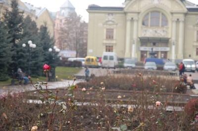 У Чернівцях посеред зими на клумбах квітнуть троянди (ФОТО)