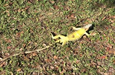 У Флориді через аномальні холоди з дерев падають замерзлі ігуани