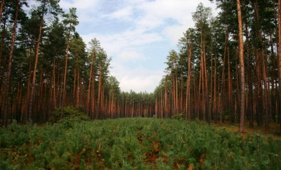 Лісівники Буковини прозвітували, скільки торік зрубали лісу, а скільки посадили