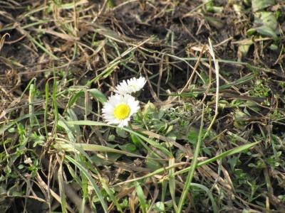 Рано зацвіли: на клумбах у Чернівцях квітнуть маргаритки (ФОТО)