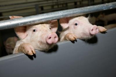 У Чернівецькій області зафіксовано ще один спалах африканської чуми свиней