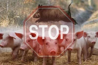 На Буковині зафіксовано новий спалах африканської чуми свиней