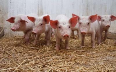 На Буковине в хозяйстве из-за африканской чумы свиней сожгли 560 животных