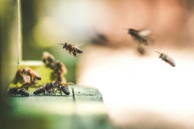 Карпатські бджоли полетять до Канади: експерт з Буковини розповів чому