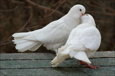 У Чернівцях відбудеться виставка-ярмарок голубів