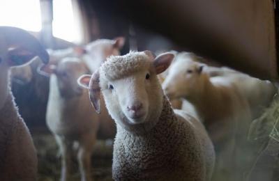 ДФС ліквідувала замаскований під овечу ферму спиртзавод
