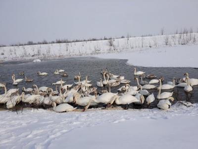 «Скоро птахи відлетять»: буковинців закликали встигнути відвідати озеро з лебедями у Чорториї