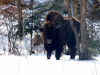 На Буковині Банилівське лісництво поповнилося ще трьома зубрами