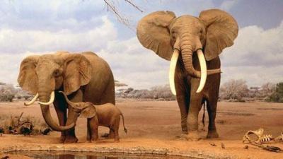 Науковці пояснили, чому слони рідко хворіють на рак