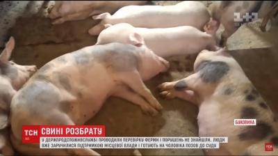 У Чернівецькій області чоловік організував підпільну свиноферму посеред містечка
