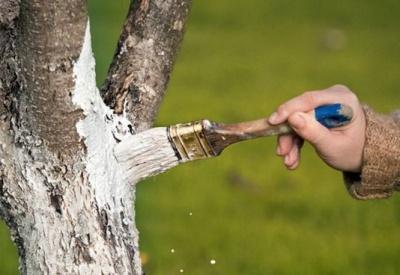 В інспекції благоустрою Чернівців нагадали про заборону білити дерева вапном