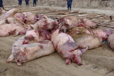 На Новоселиччині зняли карантинні обмеження у зв'язку з вірусом чуми свиней