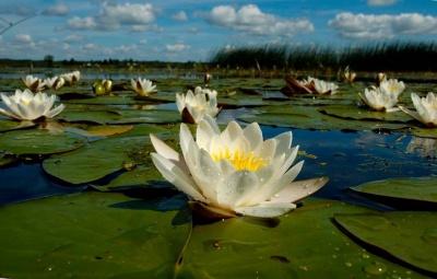 У Чернівцях у парку «Жовтневий» висадили водяні лілії (ФОТО)