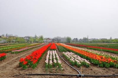 Наступні сім років тюльпанове поле не переїжджатиме з Мамаївців