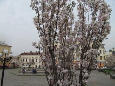У Чернівцях на площі Філармонії розквітли сакури (ФОТО)