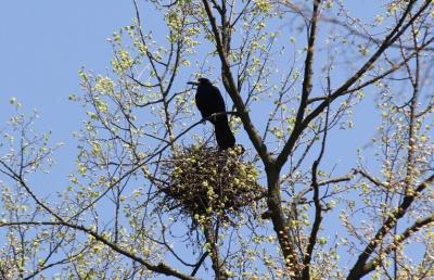 На Буковині у парку з дерев знімали воронячі гнізда, щоб не заважали