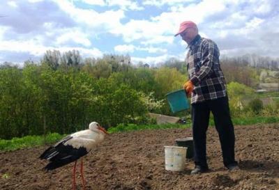 Допомагає садити картоплю і вимагає ковбасу: буковинка розповіла неймовірну історію про лелеку-помічника