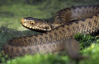 На Буковині госпіталізували 11-річного хлопчика, якого вкусила змія