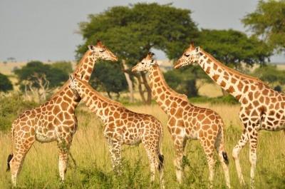 У ПАР жираф вбив режисера фільмів про дику природу