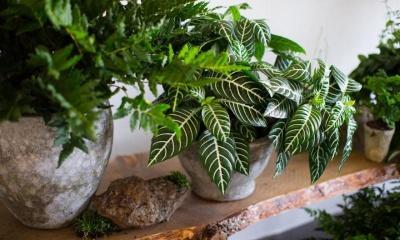 Три кімнатні рослини, які очистять повітря