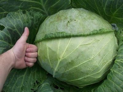 Цінні властивості капусти, про які ви могли не знати