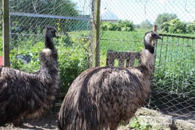 Довірливі та товариські: на Буковині чоловік вирощує австралійських страусів ему