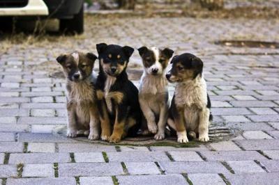 У Чернівцях порахують безпритульних собак