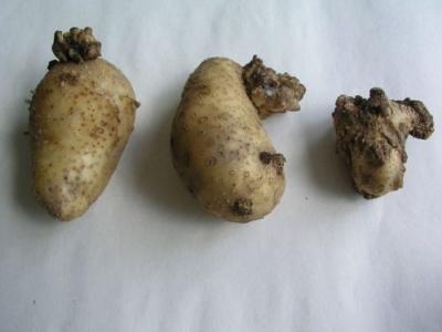 У Вижницькому районі виявили рак картоплі