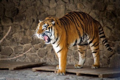 У Німеччині з зоопарку втекли кілька тигрів, левів та ведмідь