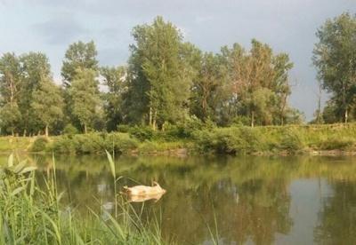 Тушка свині серед річки. На Буковині відпочивальників шокував труп тварини на Пруті - відео