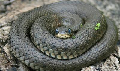 Випадково наступив: на Буковині чоловіка вкусила за ногу змія