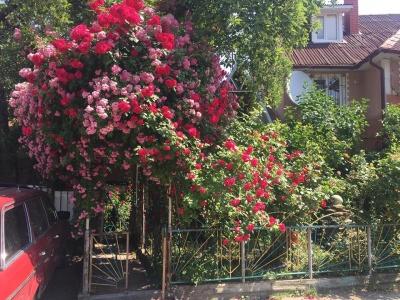 У центрі Чернівців жителі перетворили свій двір у трояндовий сад - фото