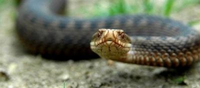 На Буковині змія вкусила підлітка за ногу: хлопця госпіталізували